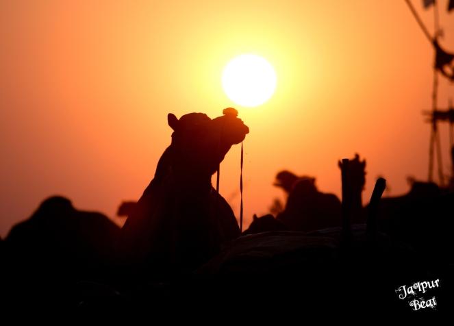 camel sunset (2)