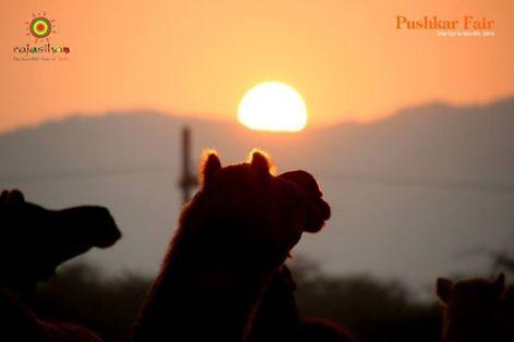 camel and sunrise