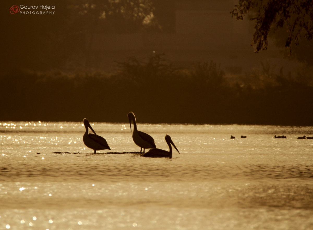 Dalmation Pelicans at Barkheda Pond, near Jaipur during sunset