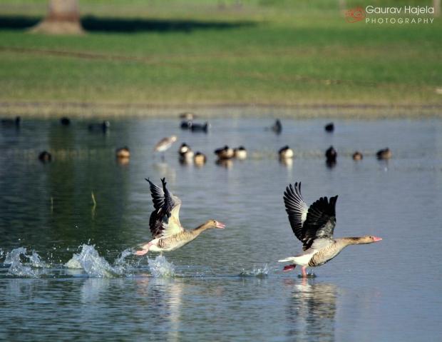 Greylag and Barheaded Goose during takeoff at Barkheda Pond, near Jaipur.