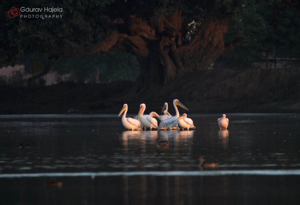 Rosy Pelicans and Greater Flamingos