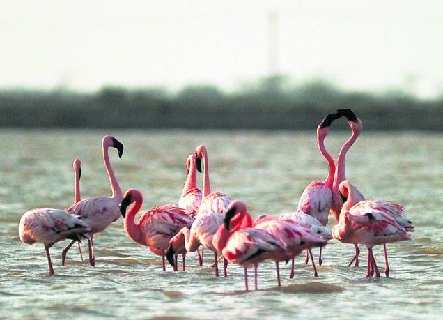 sambhar flamingo
