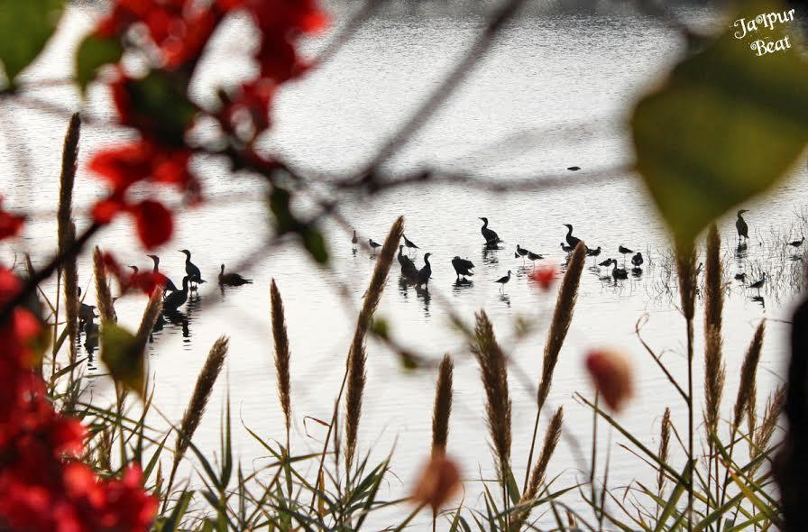 jal-mahal-birds-2