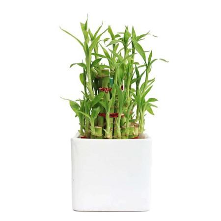 bamboo plant.jpg