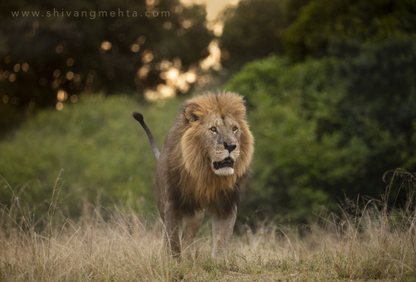 lion safari1