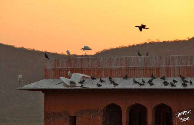 jal-mahal-birds-1